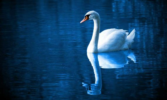 peace - swan swimming on water